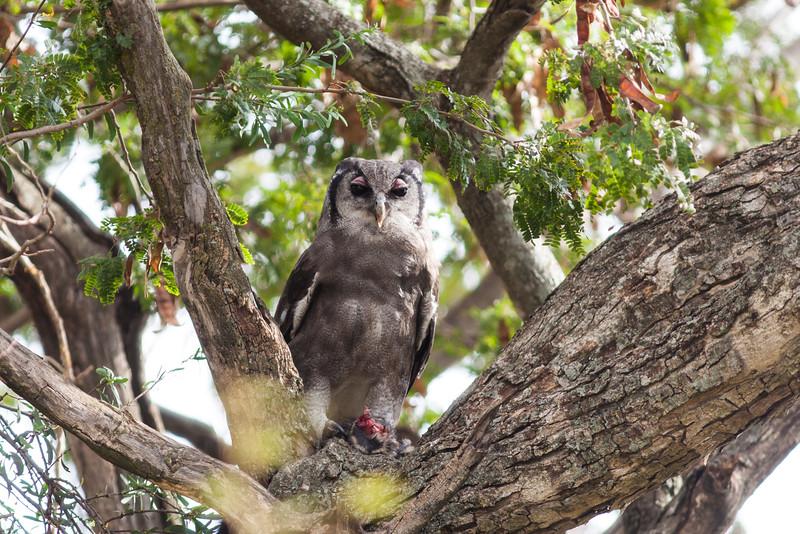 Verreaux's Eagle Owl, feeding on a hedgehog