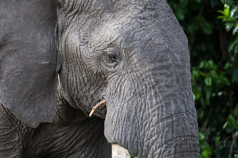 Elephant. munching sticks
