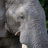 Elephant. munching sticks