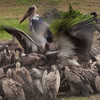 Vulture feeding frenzy