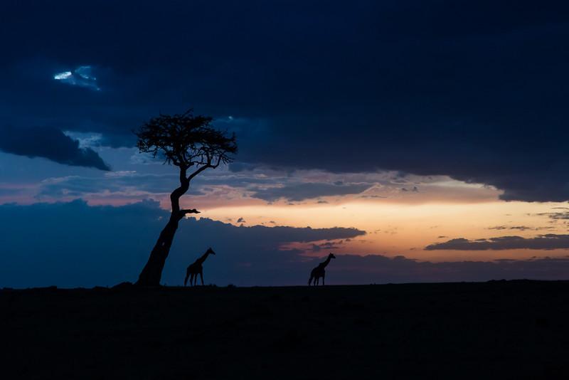 Giraffe and tree, at dusk