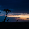 Giraffe and tree, at dusk