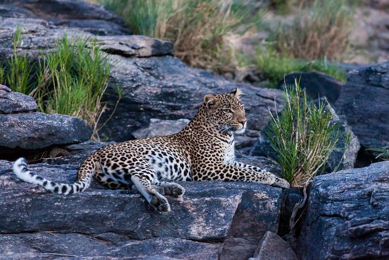 Leopard, at dusk