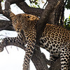 Leopard, resting after stashing a meal up a tree