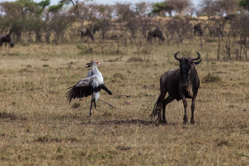 Secretarybird, attacking a wilderbeest that had been minding its own business.