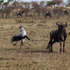 Secretarybird, attacking a wilderbeest that had been minding its own business.