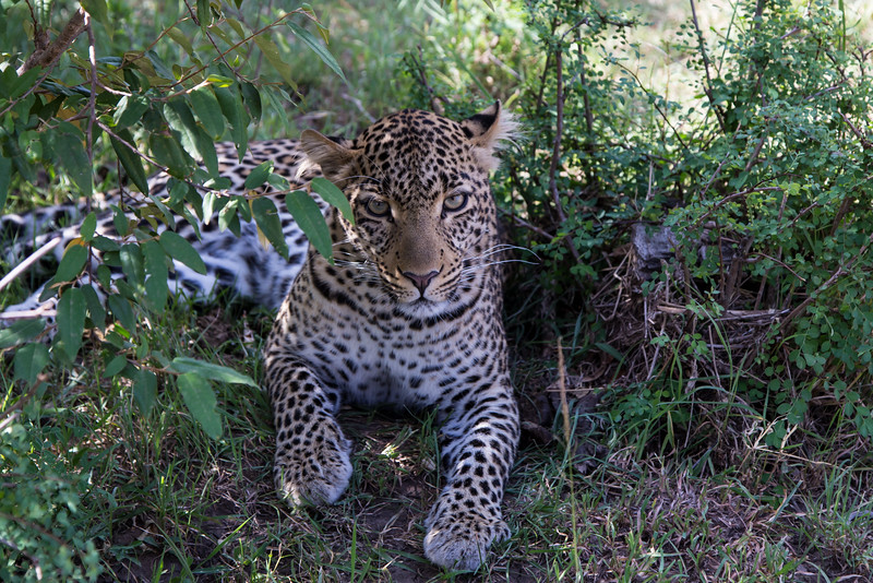 Leopard,  sheltering from the midday sun