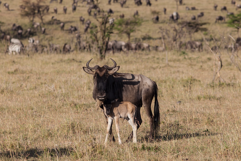 Wilderbeest and new-born baby
