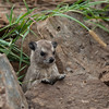 Black-necked Rock Hyrax