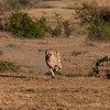 Cheetah, in pursuit of its prey