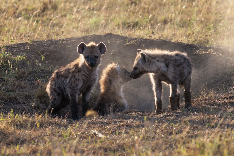 Spotted hyena, early morning at their den