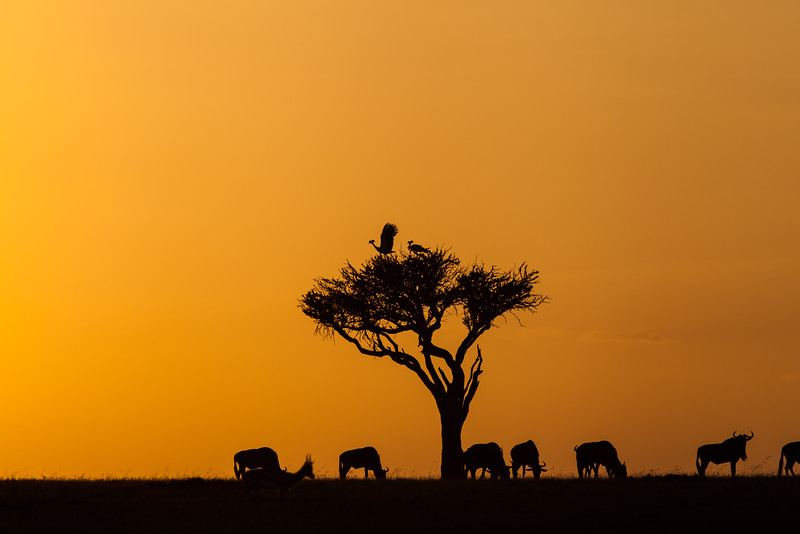 Grey crowned Cranes and wildebeest at sunrise