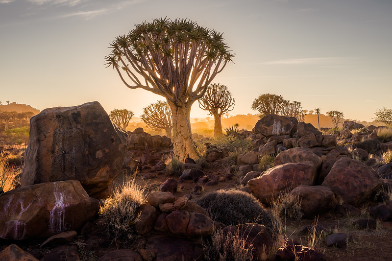 Quiver Trees Forest at sunrise