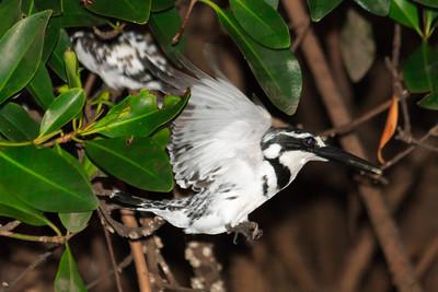 09AZa1729 Africa Animals Birds Kingfisher Pied Kingfishers Senegal Toubacouta
