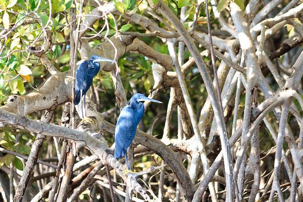 09AZa1622 Africa Black Egrets Senegal Toubacouta Wading