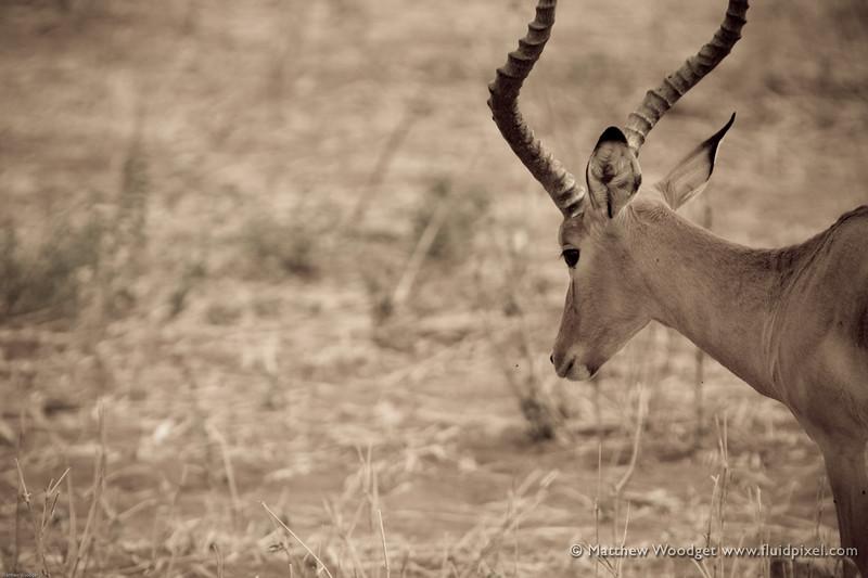 Impala, watching