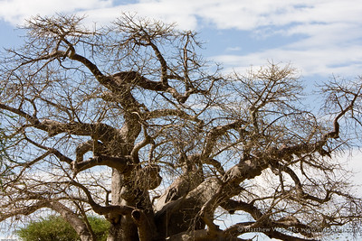 Baobob - Tarangire National Park