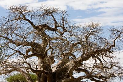 Baobob - Tarangire National Park