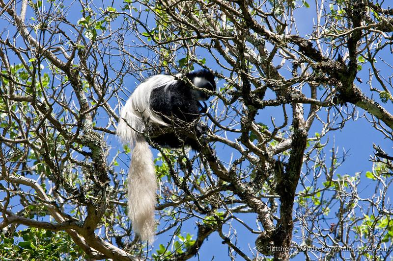 Colubus Monkey - Arusha National Park