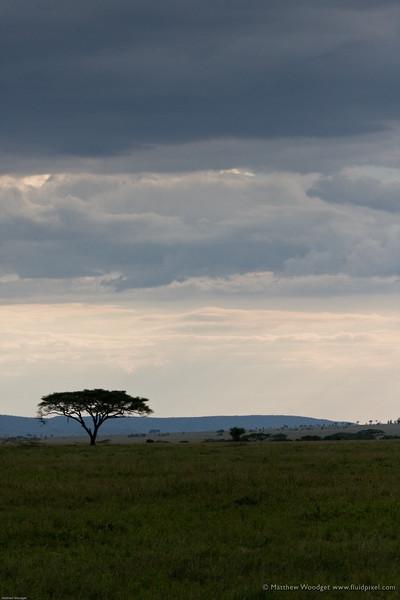 Stormy Acacia
