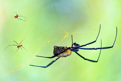Click here to buy at Alamy. Keywords: Africa Animal Insect Kouma Konda Spiders Togo MyID: 09AZa4689