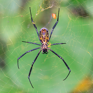 09AZa4692 Africa Animal Insect Kouma Konda Spiders Togo
