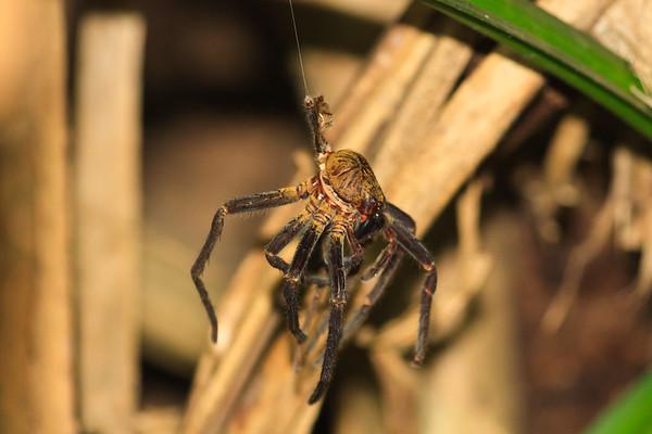 Click here to buy at Alamy. Keywords: Africa Animal Insect Kouma Konda Spiders Togo MyID: 09AZa4902
