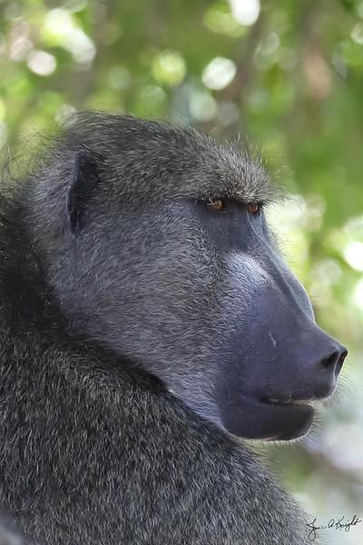 Chacma Baboon, male