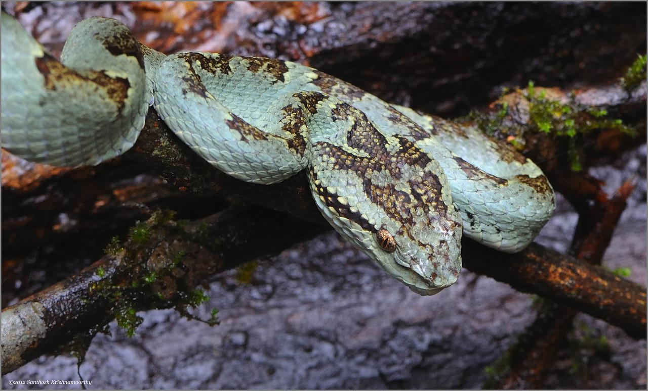 Malabar pit viper ( green morph )