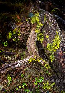 High Woods Trees Juneau - Copyright 2017 Steve Leimberg - UnSeenImages Com _DSF5323