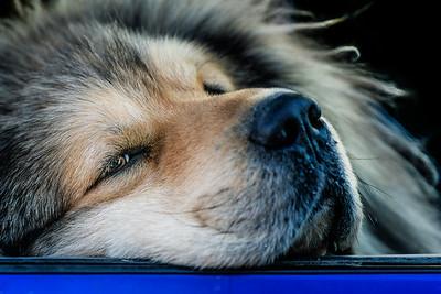 Husky Pup Skagway Alaska Copyright 2021 Steve Leimberg UnSeenImages Com _DSC4586 copy