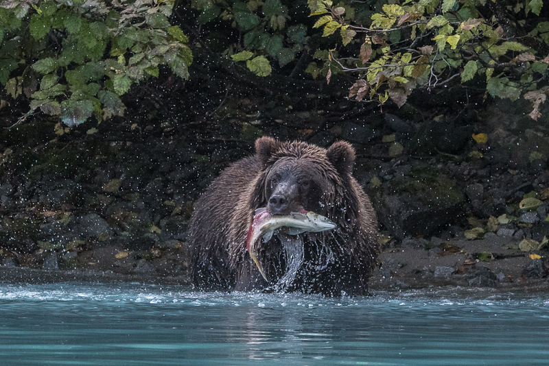 Bear catching a sockeye salmon getting ready for winter