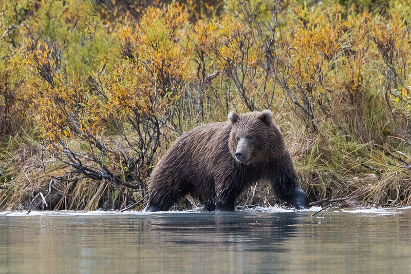 Bear with an eye on a salmon