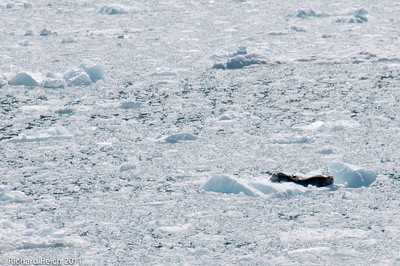 Seals on ice flow in front of Hubbard Glacier