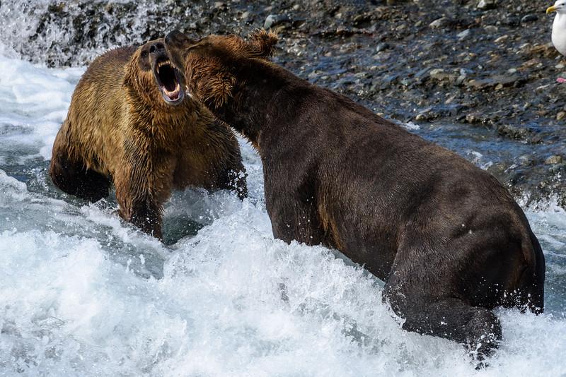 Coastal Brown Bears | McNeil River State Game Refuge, AK