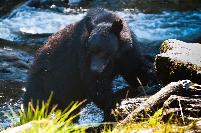Alaskan Black Bear
