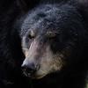Captive Black Bear