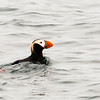 A Puffin swimming in Kenai Fjords.