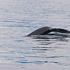 Seeing a fluke typically means the whale is doing a sounding dive.  You won't see her again for 20 to 30 minutes.