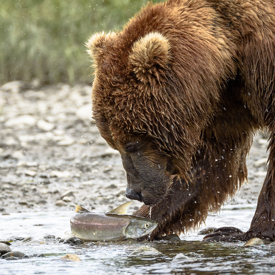 Coastal Brown Bear | Mikvik Creek, McNeil River State Game Refuge, AK