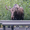 "This moose objected to me getting ""too close to his space"", so he half-hearted chased me up the path to the parking lot. Of course, at the time, I didn't know for sure what he was planning to do. I'm glad he went back to browsing on the vegatation."