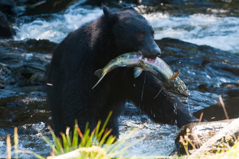 Black Bear with Lunch