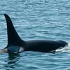 Orca II