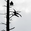 I thought a black & white image suited this capture of a dead tree and crows at the Alaska Wildlife Conservation Center.