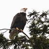 Bald Eagle in Ketchikan, Alaska.