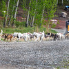 Dog sled teams keeping in shape during the summer.