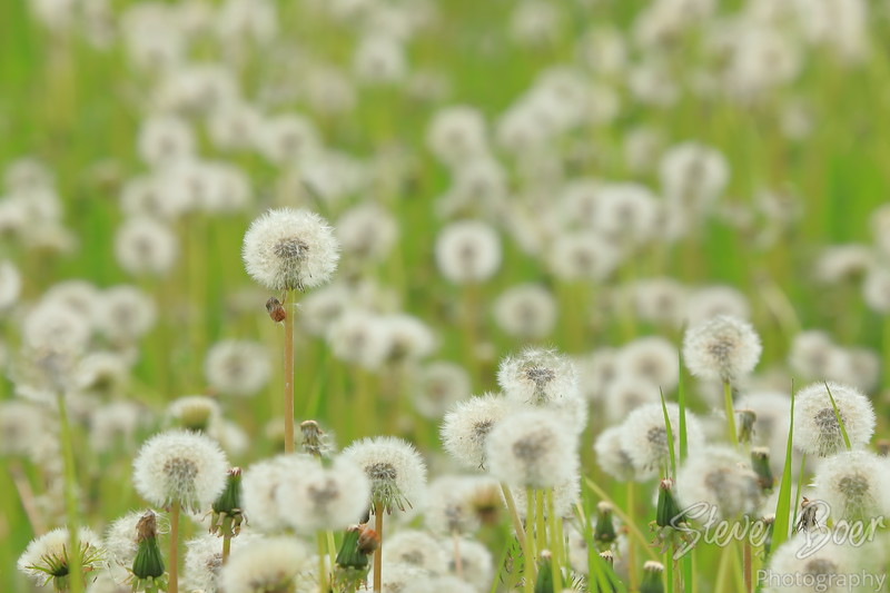 One tall dandelion in a field of dandelions