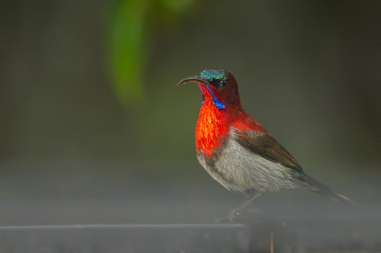 In the mist....Fire breasted....Vigor's sunbird