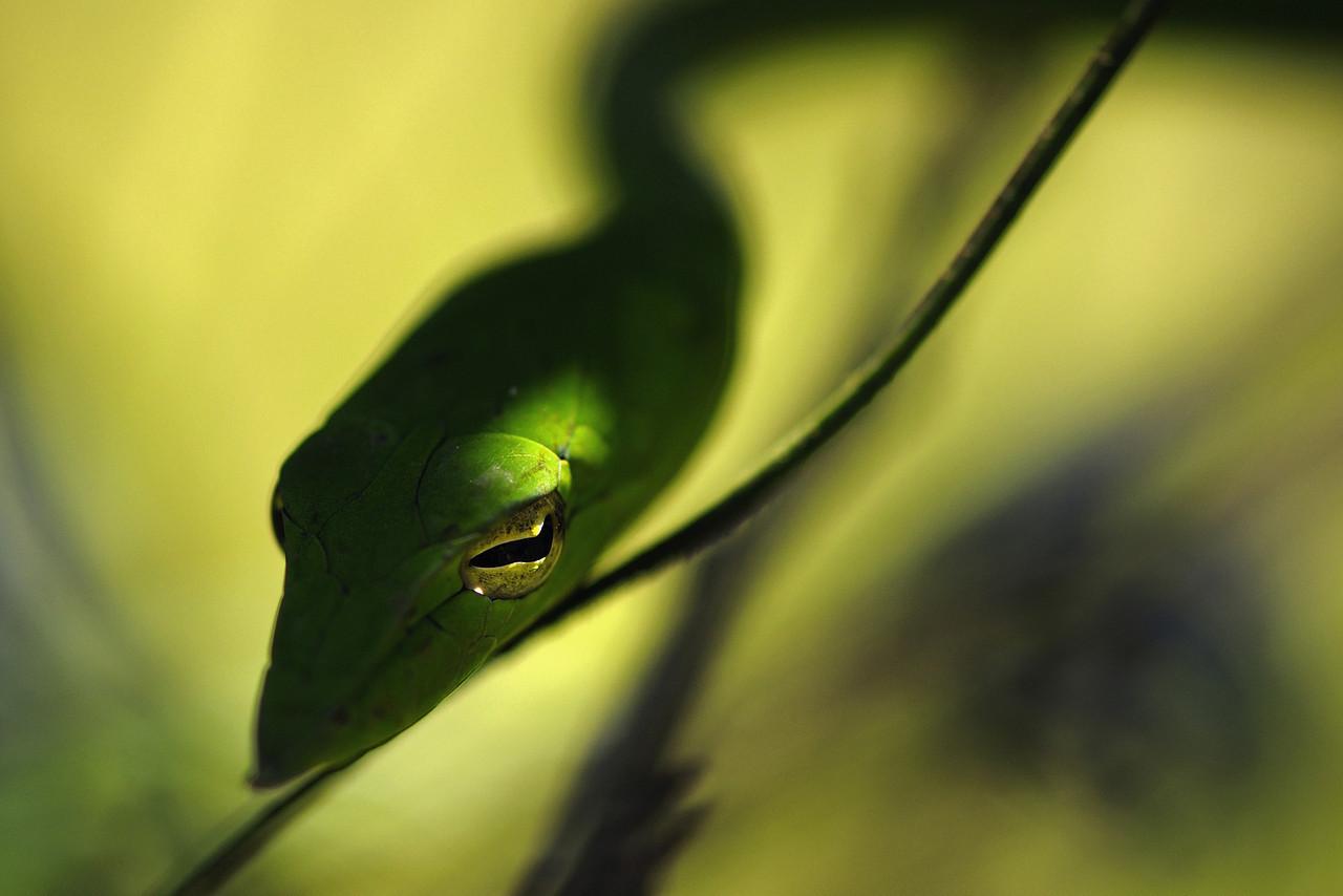 The eye - Green Vine Snake