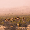 Vicunas in the mist